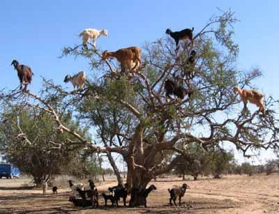 Марокко , козлы на деревьях фото