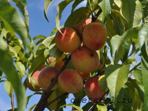 персики против рака груди фото
