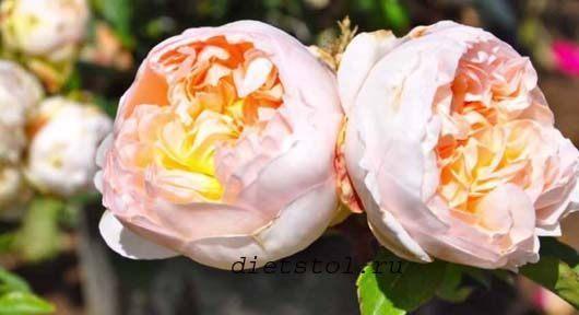 rozy v sadu. розы в саду фото
